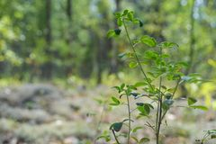 Freschezza degli alberi della strada del mirtillo del mirtillo del prato del prato del cespuglio della foresta Immagine Stock