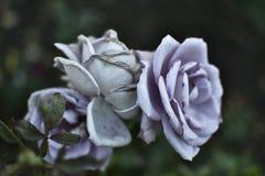 Fresco branco azul das rosas, jardim, verão floresce Imagens de Stock