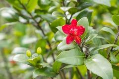 Fresco brillante floreciente fresco de la flor de la fruta del primer de la naturaleza del contraste macro rojo del enfoque Imágenes de archivo libres de regalías