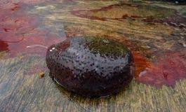 Fresco dalle acque dei crostacei del mare dell'Oceano Atlantico - oloturia fotografia stock libera da diritti