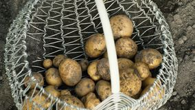 Fresco de las patatas de tierra en una cesta almacen de metraje de vídeo