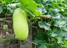 Fresco del melone di inverno verde sull'albero Fotografia Stock Libera da Diritti