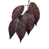 Fresco e escuro - folhas vermelhas das ameixas, isoladas em um fundo branco Folhas vermelhas Ramo cor-de-rosa ensolarado com folh Imagem de Stock