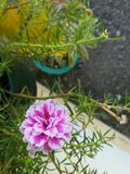 Fresco e violeta no jardim Foto de Stock