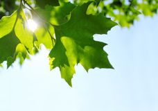 Fresco, fogli di verde - priorità bassa della natura Fotografia Stock Libera da Diritti