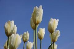 fresco Gocce della rugiada di mattina sui tulipani bianchi Corolla immagine stock libera da diritti