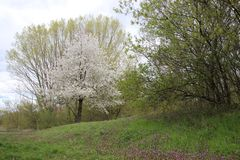 fresco Japonês branco de florescência Sakura With Wild Flowers fotos de stock royalty free