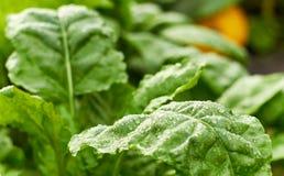 Fresco molhe as folhas da planta e da abóbora verdes da beterraba na cama no fundo, foto de stock