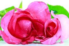 Fresco rosado se levantó Imagen de archivo