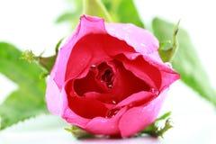 Fresco rosado se levantó en un fondo blanco Imagen de archivo libre de regalías