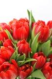 Fresco rosso dei tulipani con le gocce di acqua immagine stock