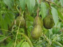 Fresco verde do miliampère do legume fresco do fruto de Tailândia junto, muitos resultados fotos de stock