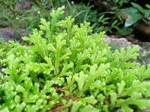 Frescura e involvens verdes frescos del selaginella del helecho en la tierra Foto de archivo libre de regalías