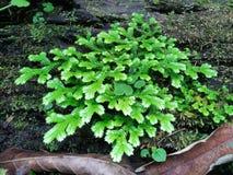 Frescura e involvens verdes frescos del selaginella del helecho en la tierra Imagen de archivo libre de regalías