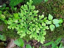 Frescura e involvens verdes frescos del selaginella del helecho en la tierra Imágenes de archivo libres de regalías