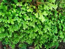 Frescura e involvens verdes frescos del selaginella del helecho en la tierra Foto de archivo