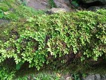 Frescura e involvens verdes frescos del selaginella del helecho en la tierra Imagen de archivo