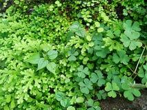 Frescura e involvens verdes frescos del selaginella del helecho en la tierra Imagenes de archivo