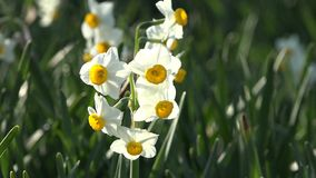 Fresh Narcissus-flowers in Japan stock video footage