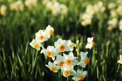 Fresh Narcissus flowers in Japan Royalty Free Stock Photos