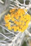 Fresh achillea millefolium or common yarrow Royalty Free Stock Photography