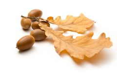 Fresh acorn Royalty Free Stock Images