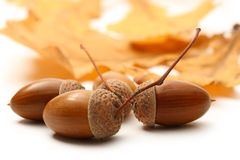 Fresh acorn Royalty Free Stock Photos