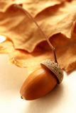 Fresh acorn with dried leaves Stock Image