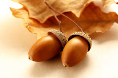 Fresh acorns with dried leaves Stock Photos