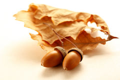 Fresh acorns with dried leaves Royalty Free Stock Images