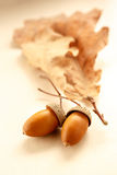 Fresh acorns with dried leaves Royalty Free Stock Photo