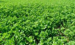 Fresh alfalfa lucerne field in springtime. Fresh alfalfa lucerne field in spring time Stock Photo