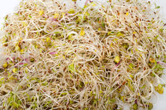 Fresh alfalfa sprout Royalty Free Stock Image