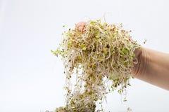 Fresh alfalfa sprout Royalty Free Stock Photos
