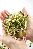 Fresh alfalfa sprouts Royalty Free Stock Photo