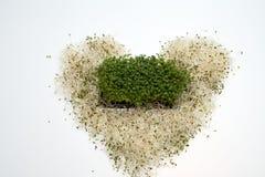 Fresh alfalfa sprouts Stock Photos