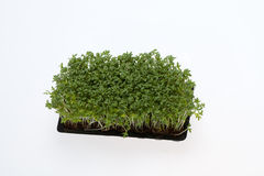 Fresh alfalfa sprouts Stock Images