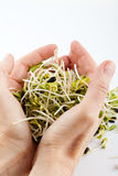 Fresh alfalfa sprouts Stock Image