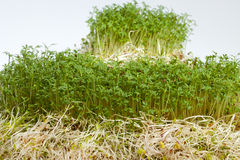 Fresh alfalfa sprouts and cress Royalty Free Stock Images