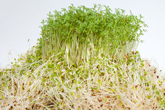 Fresh alfalfa sprouts and cress Royalty Free Stock Photo