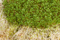 Fresh alfalfa sprouts and cress Stock Photography