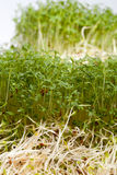 Fresh alfalfa sprouts and cress Stock Photos