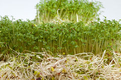 Fresh alfalfa sprouts and cress Royalty Free Stock Image