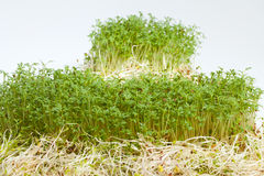 Fresh alfalfa sprouts and cress Stock Photo