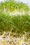 Fresh alfalfa sprouts and cress Royalty Free Stock Photography
