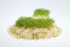 Fresh alfalfa sprouts and cress Royalty Free Stock Photos