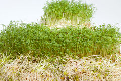Fresh alfalfa sprouts and cress Stock Images