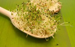 Fresh alfalfa sprouts on a green board Stock Images