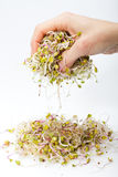 Fresh alfalfa sprouts Stock Photography