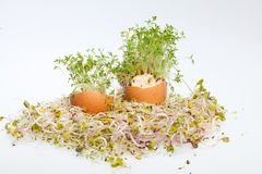 Fresh Alfalfa Sprouts Royalty Free Stock Photography